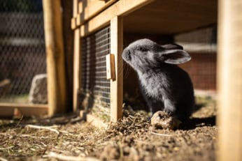 close up of a black baby bunny