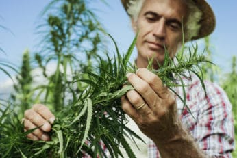 a farmer checking a hemp plant