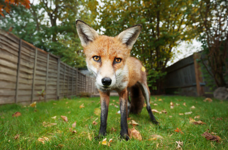 how to get rid of foxes in your garden
