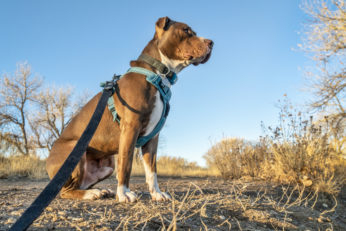 Pit Bull Terrier wearing safety vest