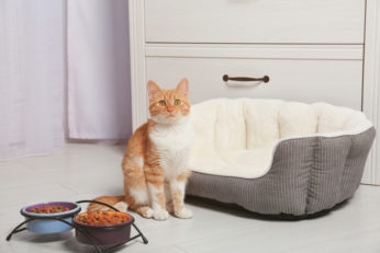 feline standing next to food and cushion