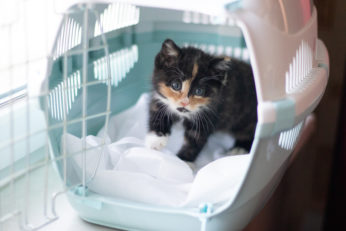 kitten inside travel pet crate